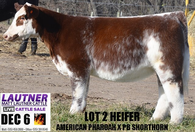 Matt Lautner Cattle The Leader In Providing Club Calf Genetics